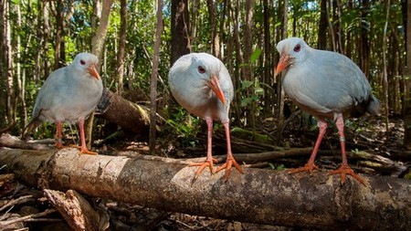 Three kagu birds standing on a log