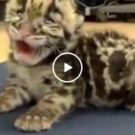 Little baby murder machine gives it's first adorable roar (Video)