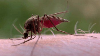 blood sucking facts about those fing mosquitoes photos 181 Blood sucking facts about those f***ing mosquitoes! (17 Photos)