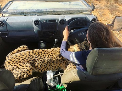 meet lisa the cute wildlife worker who raised a pack of cheetahs as her own 29 photos videos 16 Meet Lisa, the cute wildlife worker who raised a pack of cheetahs (30 Photos & Video)