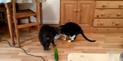 cats are scared of cucumbers gif2 Just a buncha fookin scaredy cats (17 GIFs)