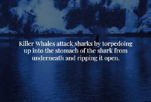 male killer whale orcinus orca 725x490 Creepy facts that will chill you to the bone (20 Photos)