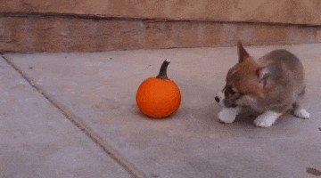 pets versus halloween decorations 615 Halloween pets are heckin spooky (28 photos)