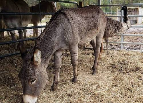 A lusty donkey and anxious emu fall in love; cause havoc for their shelter