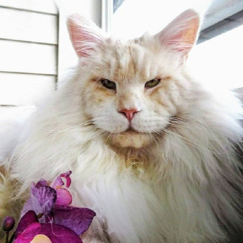 lotus the mainecoon 26225588 1984269305155225 3652895167288967168 n Check out this MASSIVE f***ing house cat (12 Photos)