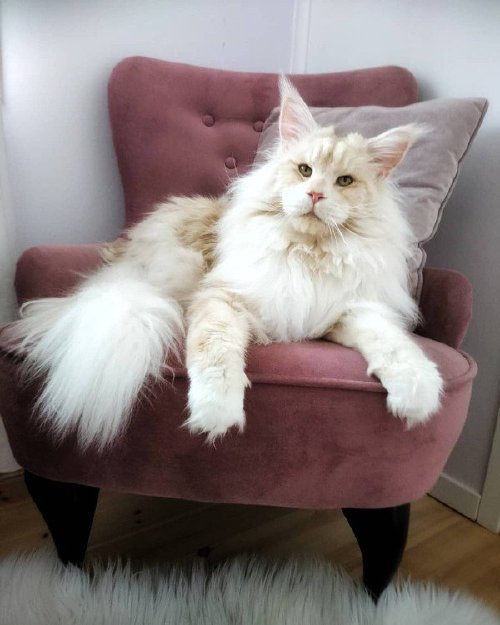 lotus the mainecoon 30077446 116599649193305 4076499850298916864 n Check out this MASSIVE f***ing house cat (12 Photos)