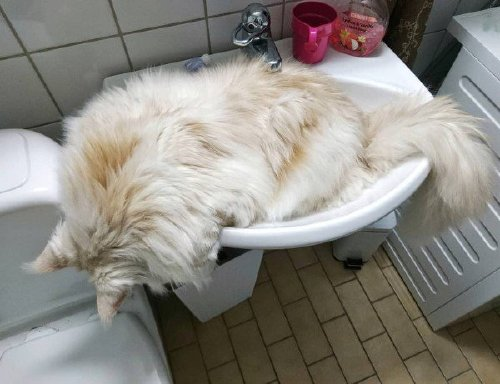lotus the mainecoon 32975860 188262862001043 4973817513134522368 n Check out this MASSIVE f***ing house cat (12 Photos)