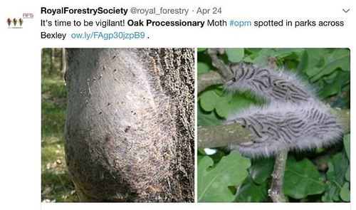 Earlier this week The Royal Forestry Society tweeted caterpillars have been spotted in parks