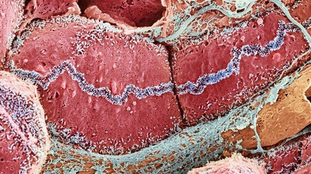 Coloured scanning electron micrograph of liver tissue
