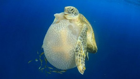 A green turtle holding a mosaic jellyfish