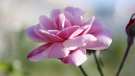 Rosa chinensis Rose flower