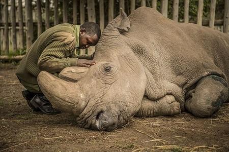 Northern White Rhino and wildlife ranger