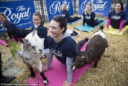Goat yoga (pictured in Toronto last year) has become hugely popular since launching in Oregon in 2016. But trendy New York will miss out on the fad, as it is banned by health laws