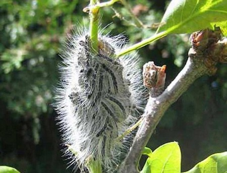 A plague of toxic caterpillars that cause life-threatening asthma attacks, vomiting and skin rashes has descended on the UK, officials warn. They have been spotted in the south east