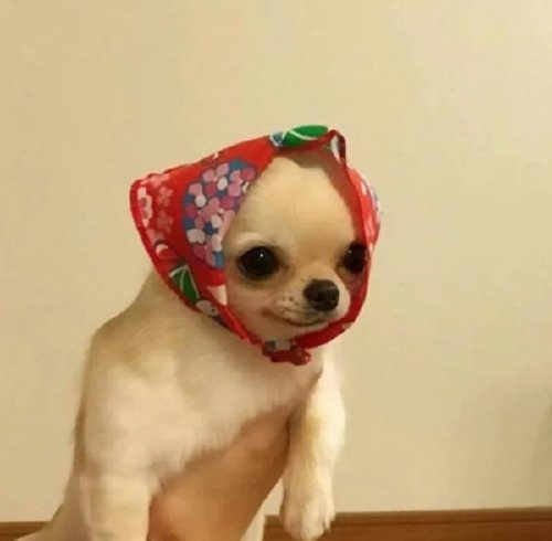 Babushka Dogs looking like little old Russian ladies