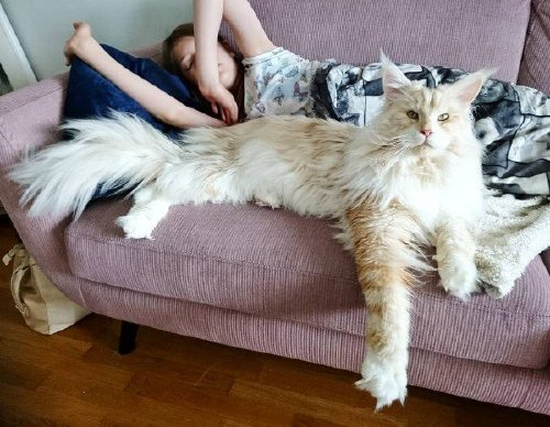 Check out this MASSIVE f***ing house cat